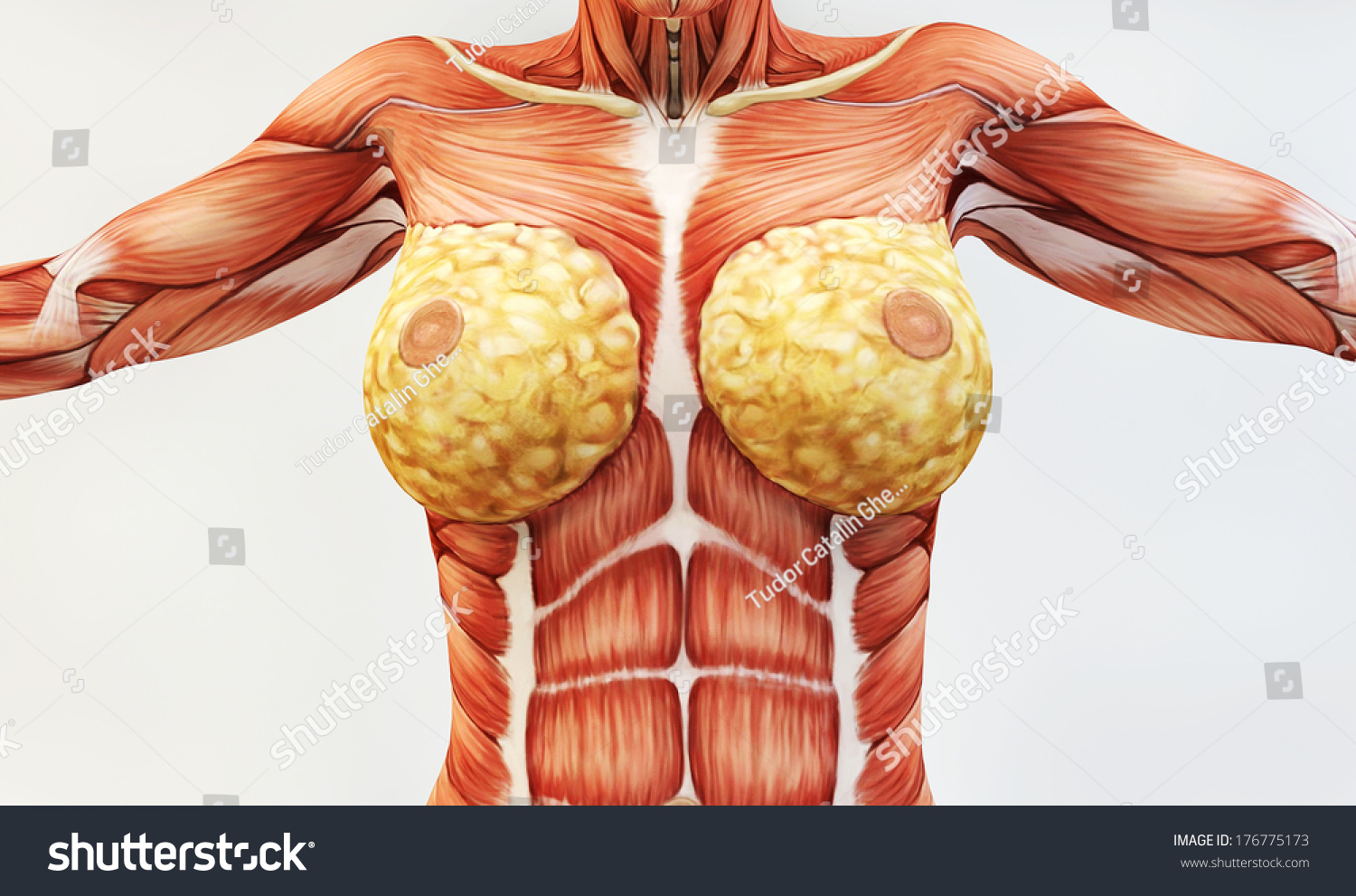Female Muscle Anatomy Stock Illustration 176775173 Shutterstock