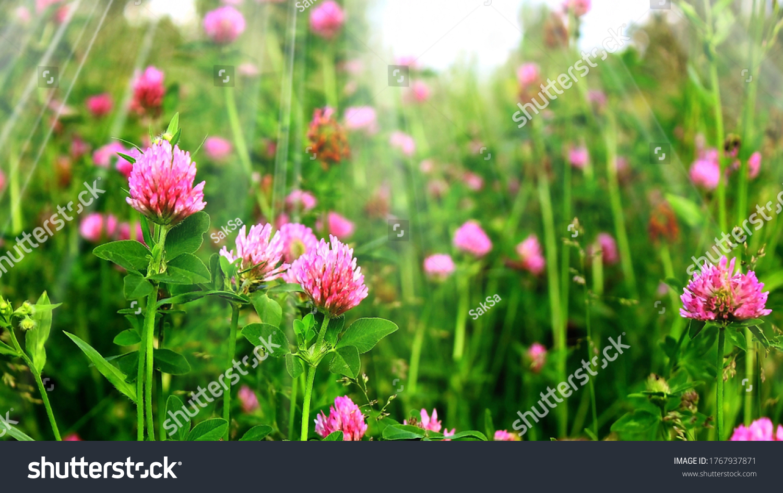 Field red clover flower (Trifolium pratense) in spring rural landscape. Medicinal herb red clover flower garden field. Pink purple clover flower, leaves herbs for tea. Trifolium plant pattern #1767937871