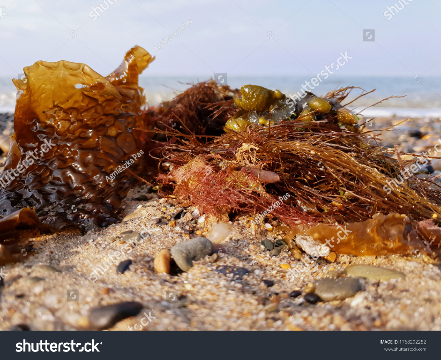 Brown seaweeds washed up on the beach. Close up view. Selective focus. Blurry background with the Irish Sea.