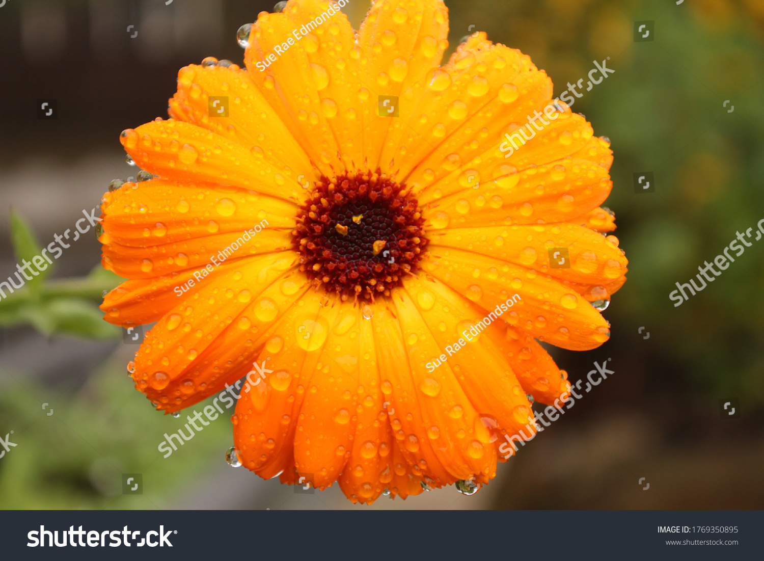 stock-photo-close-up-of-a-marigold-flowe