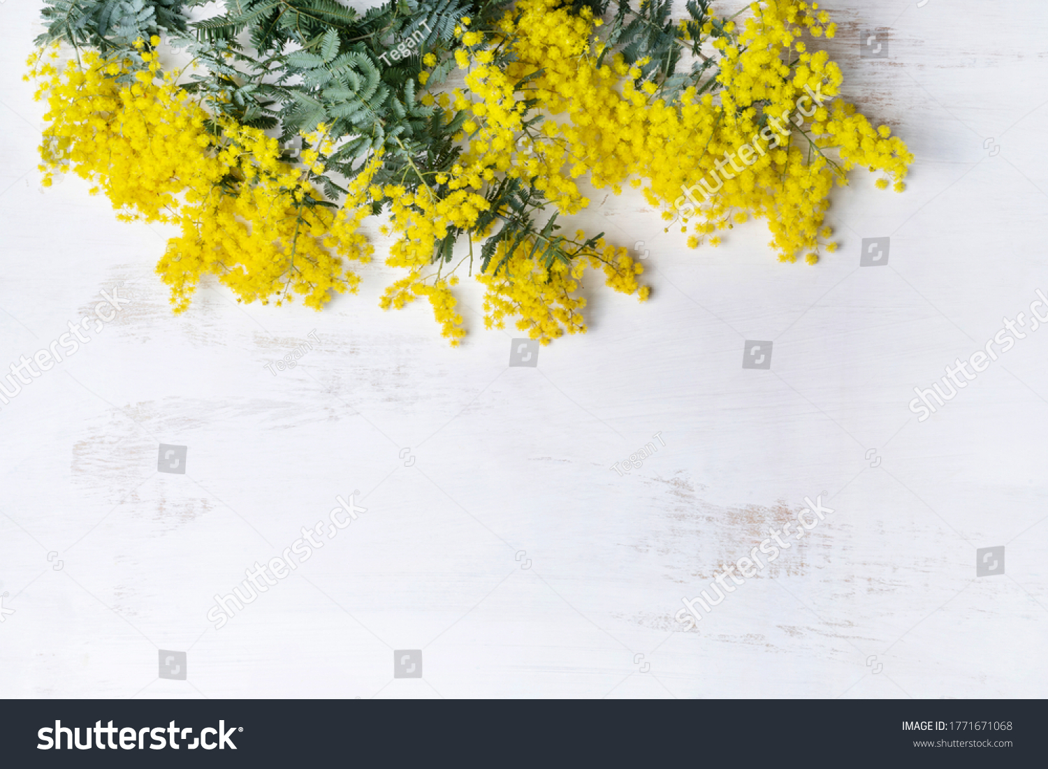 Beautiful Australian native yellow wattle or acacia flowers, frame the composition space from above, on a white rustic background. Know as Acacia baileyana or Cootamundra wattle. Space for copy. #1771671068