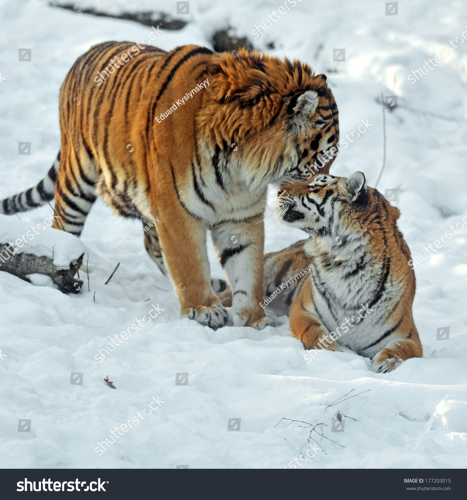Amur Tiger in the woods in winter #177203015