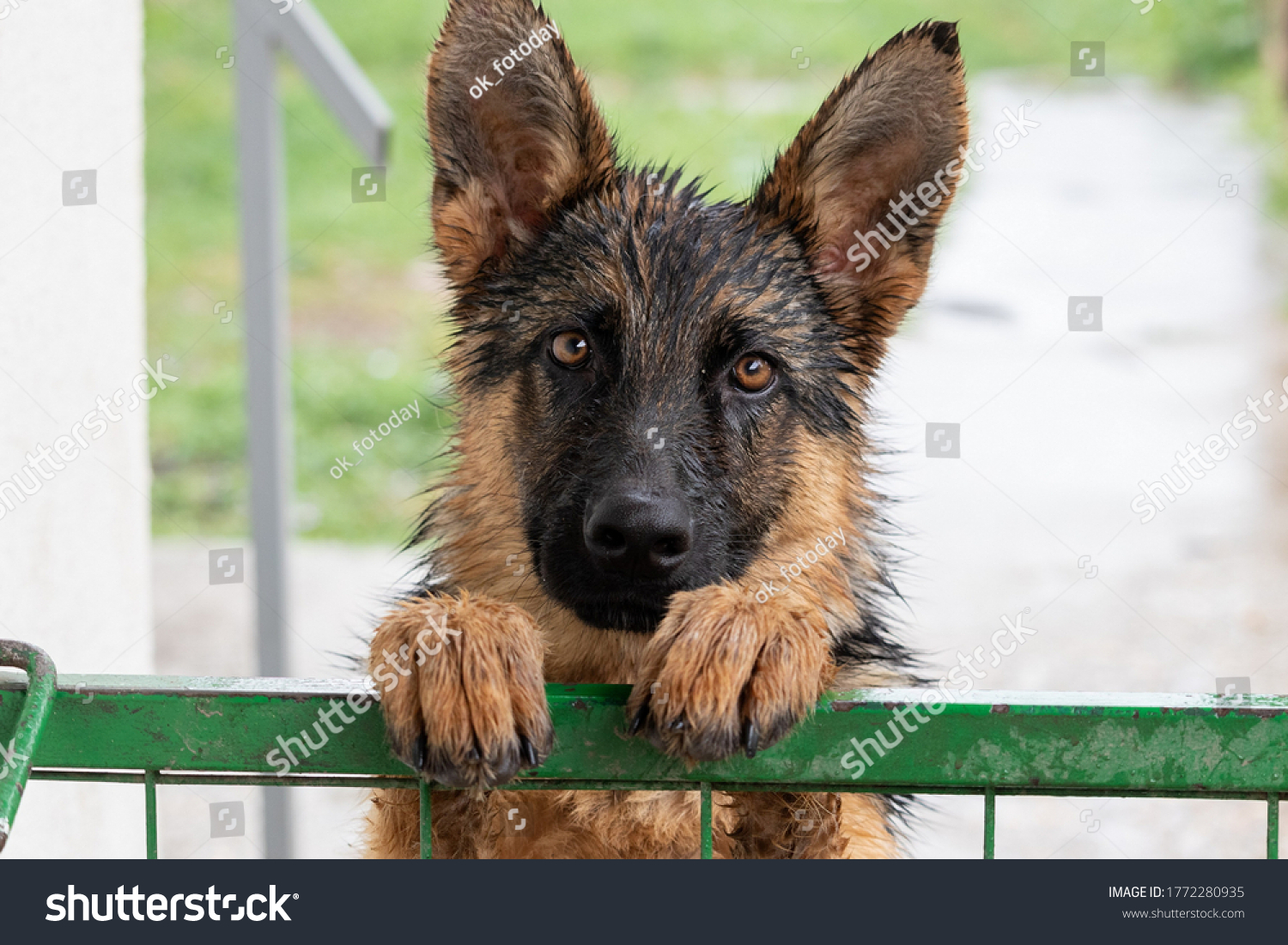 stock-photo-a-young-german-shepherd-dog-