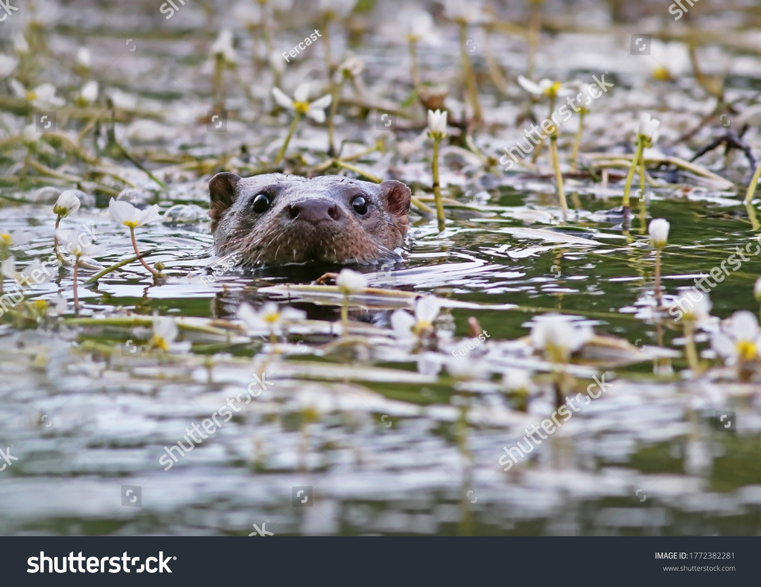 stock-photo-curious-european-otter-lutra