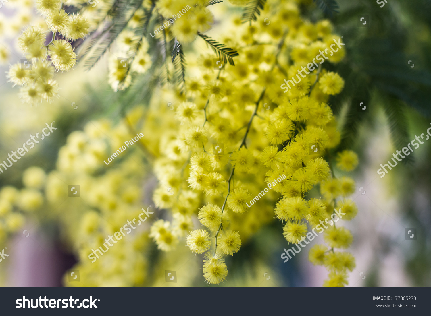 Mimosa flowers #177305273