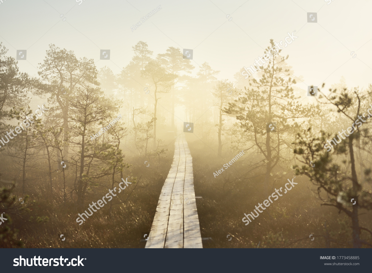 A wooden pathway trough the coniferous forest in a thick mysterious fog at sunrise. Cenas tirelis, Latvia. Sunlight through the old tree trunks. Idyllic autumn landscape. Natural tunnel, fairy scene