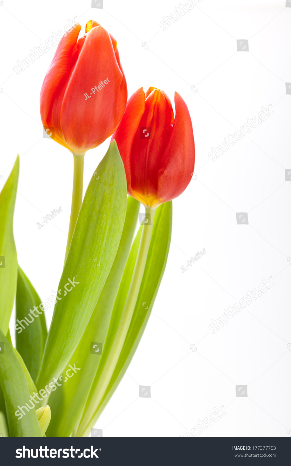 Beautiful Fresh Red Tulips Their Green Stock Photo Edit Now