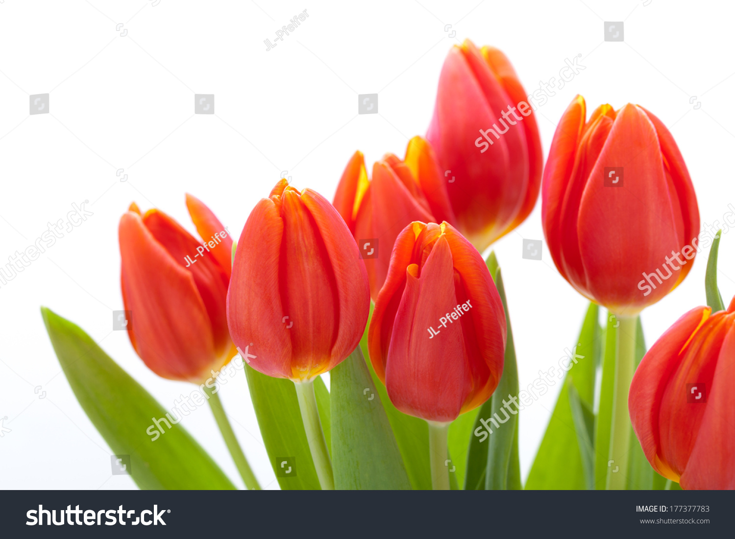 Bouquet Of Red Tulips On White Background Ez Canvas