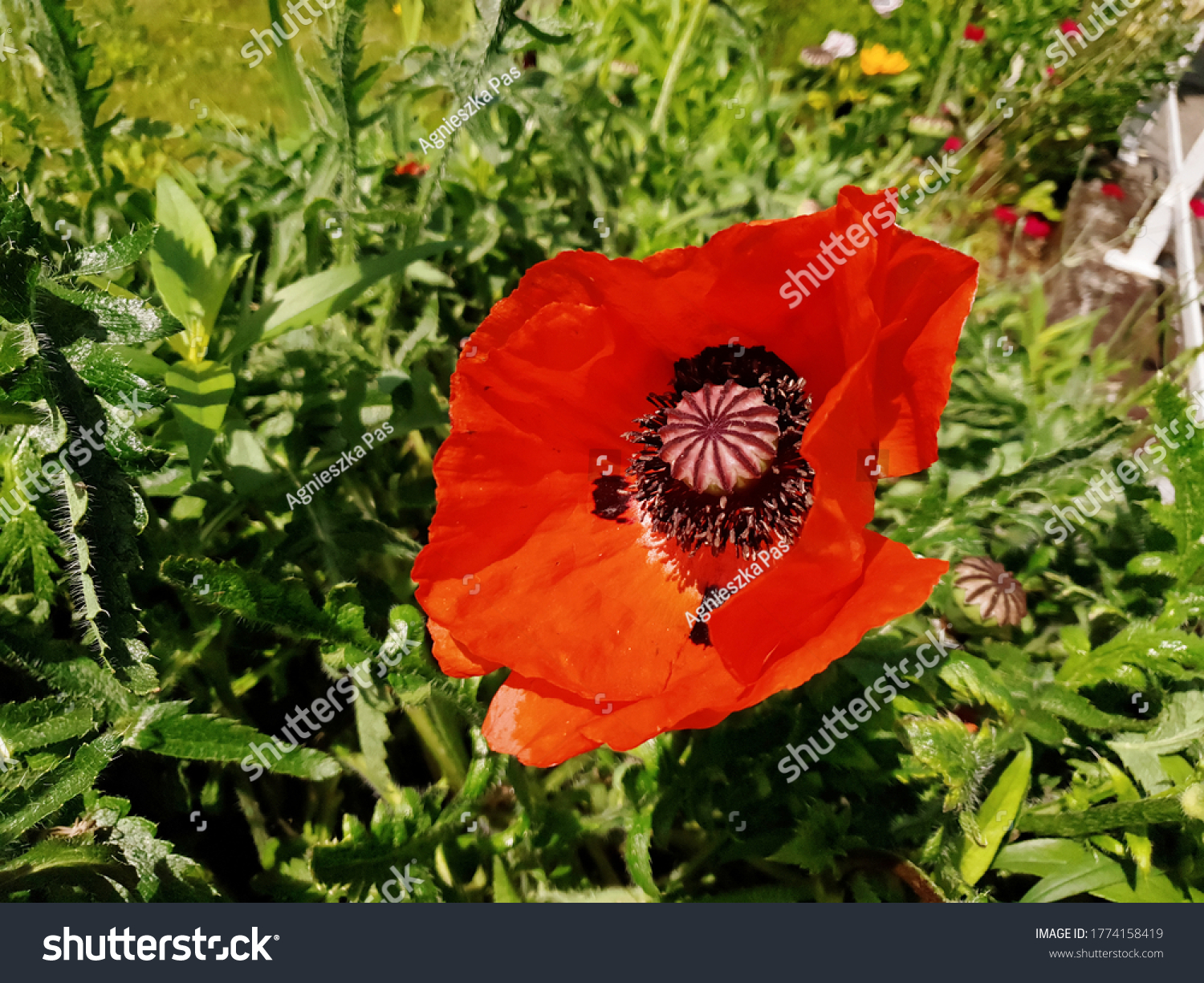 stock-photo-close-up-view-of-red-poppy-f