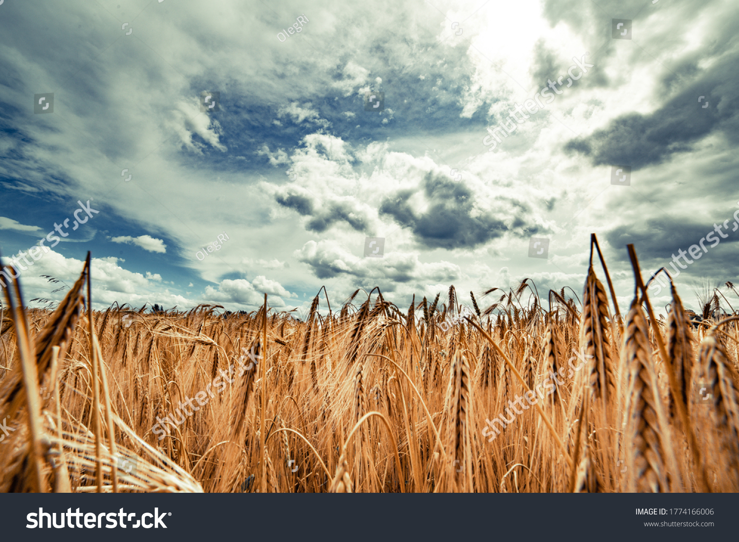 Beautiful landscape with field of ripe rye and blue summer sky. #1774166006