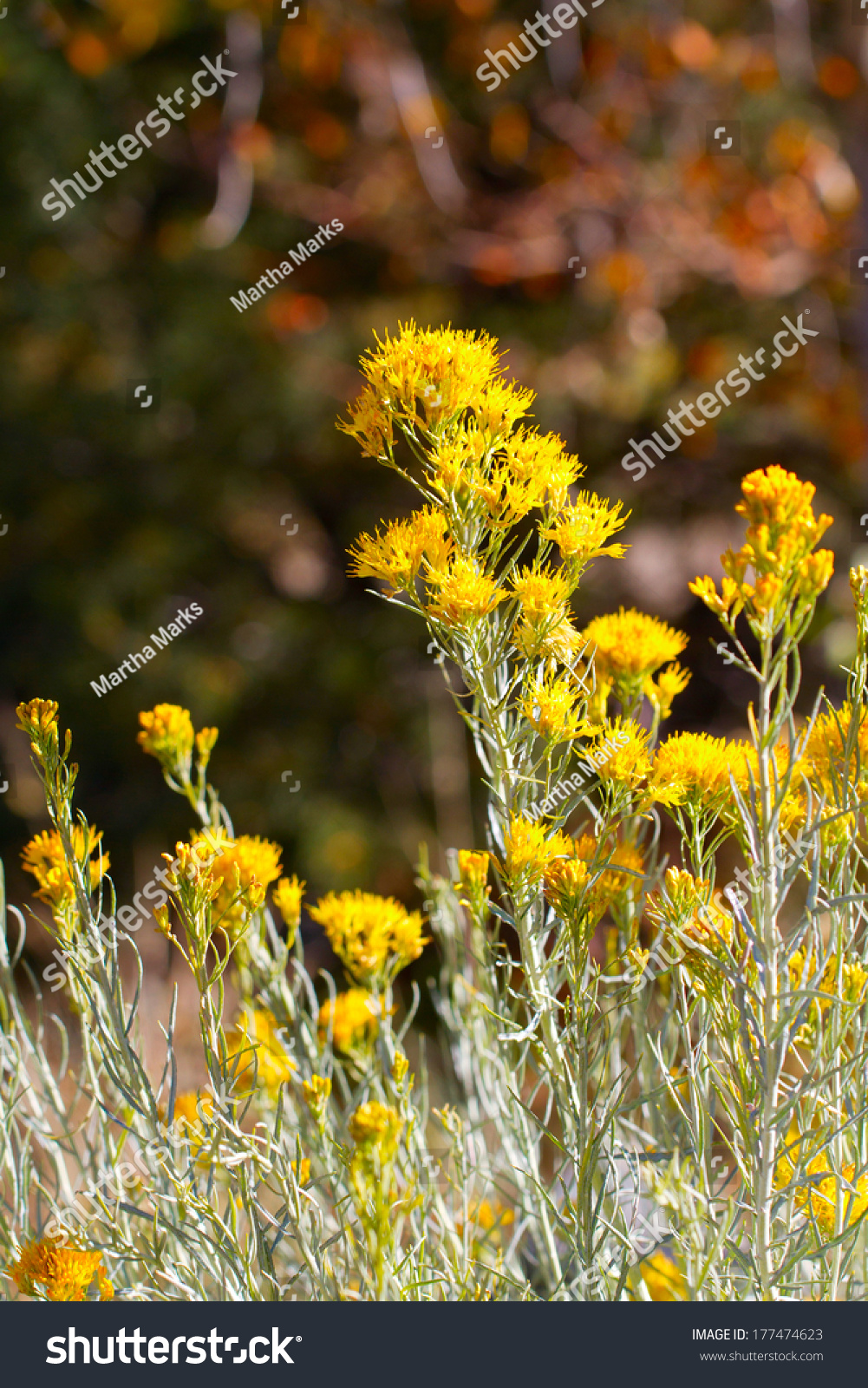 Yellow flowers bloom autumn on chamisa stock photo 100 legal yellow flowers bloom in autumn on chamisa aka rabbit bush in santa fe mightylinksfo