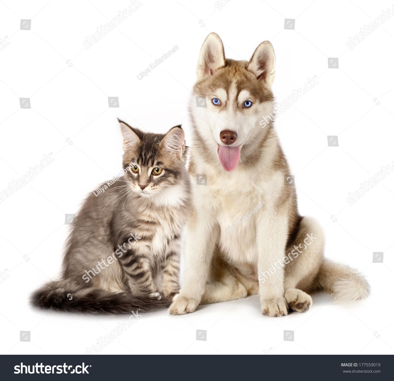 Siberian Husky Cat Breeds Maine Coon Stock