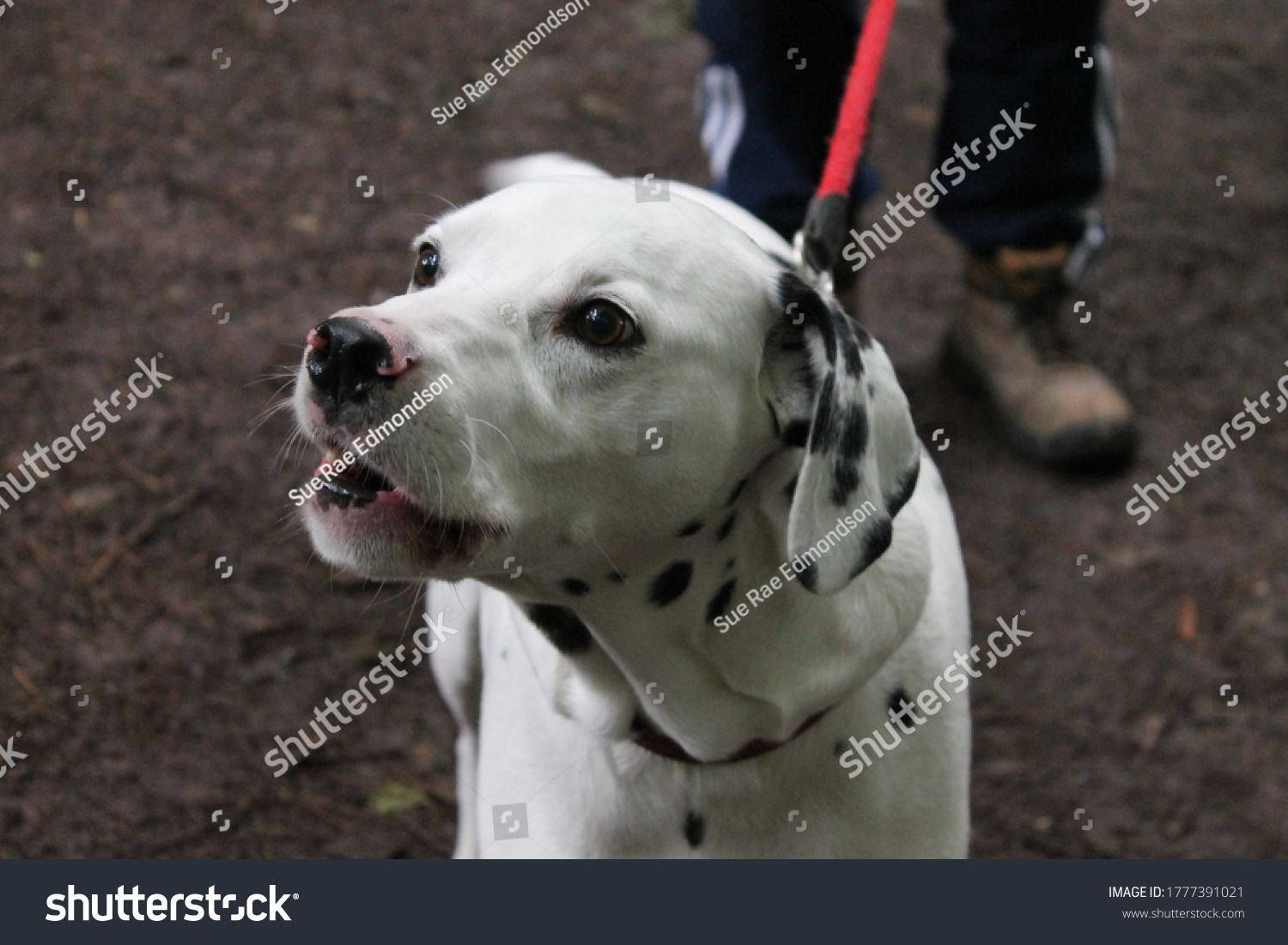Dalmatian dog with mouth open due to barking