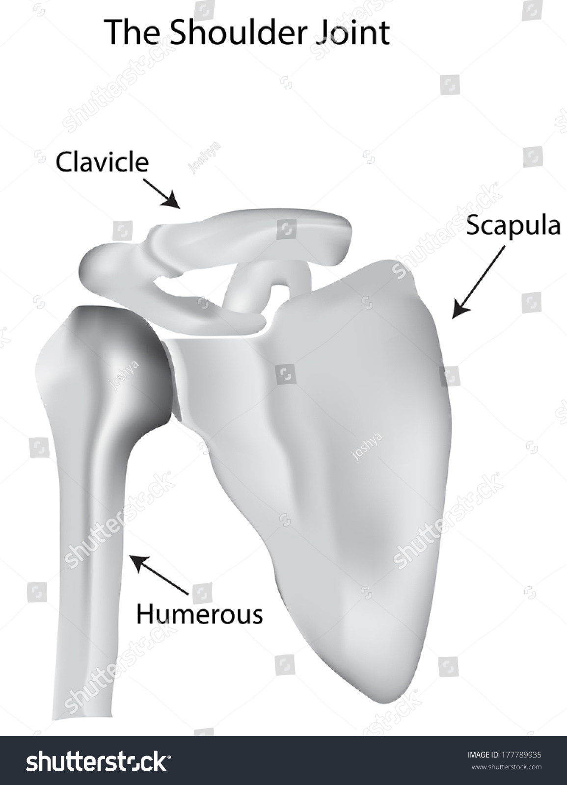 Shoulder Joint Labeled Stock Photo (Photo, Vector, Illustration ...