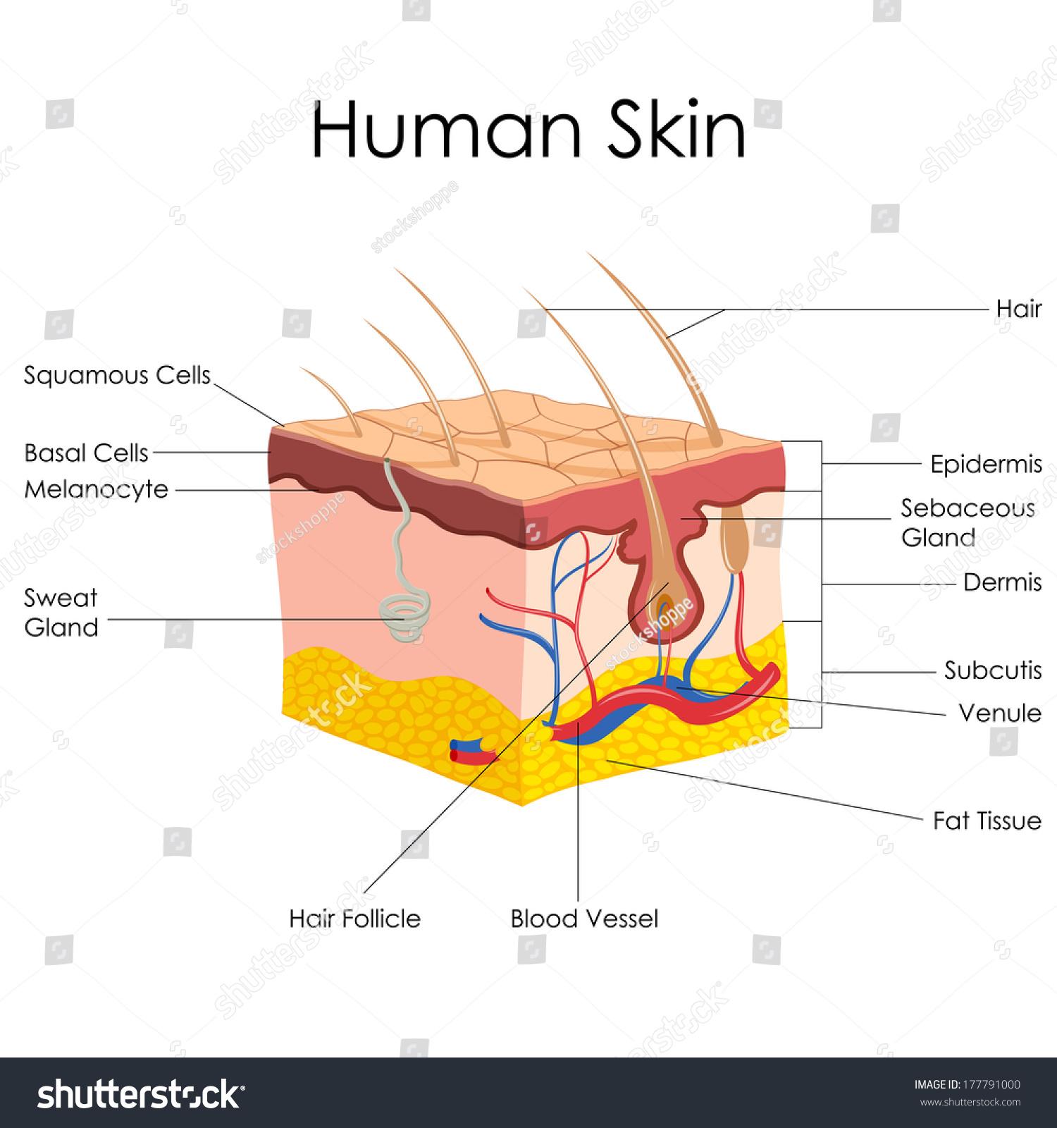 Vector Illustration Diagram Human Skin Anatomy Stock Vector (Royalty ...