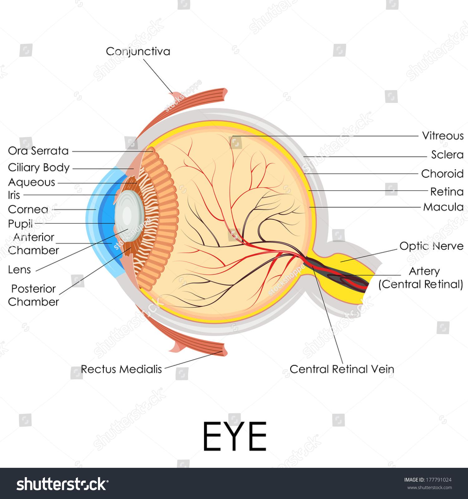 Vector illustration diagram human eye anatomy stock vector vector illustration of diagram of human eye anatomy pooptronica Image collections