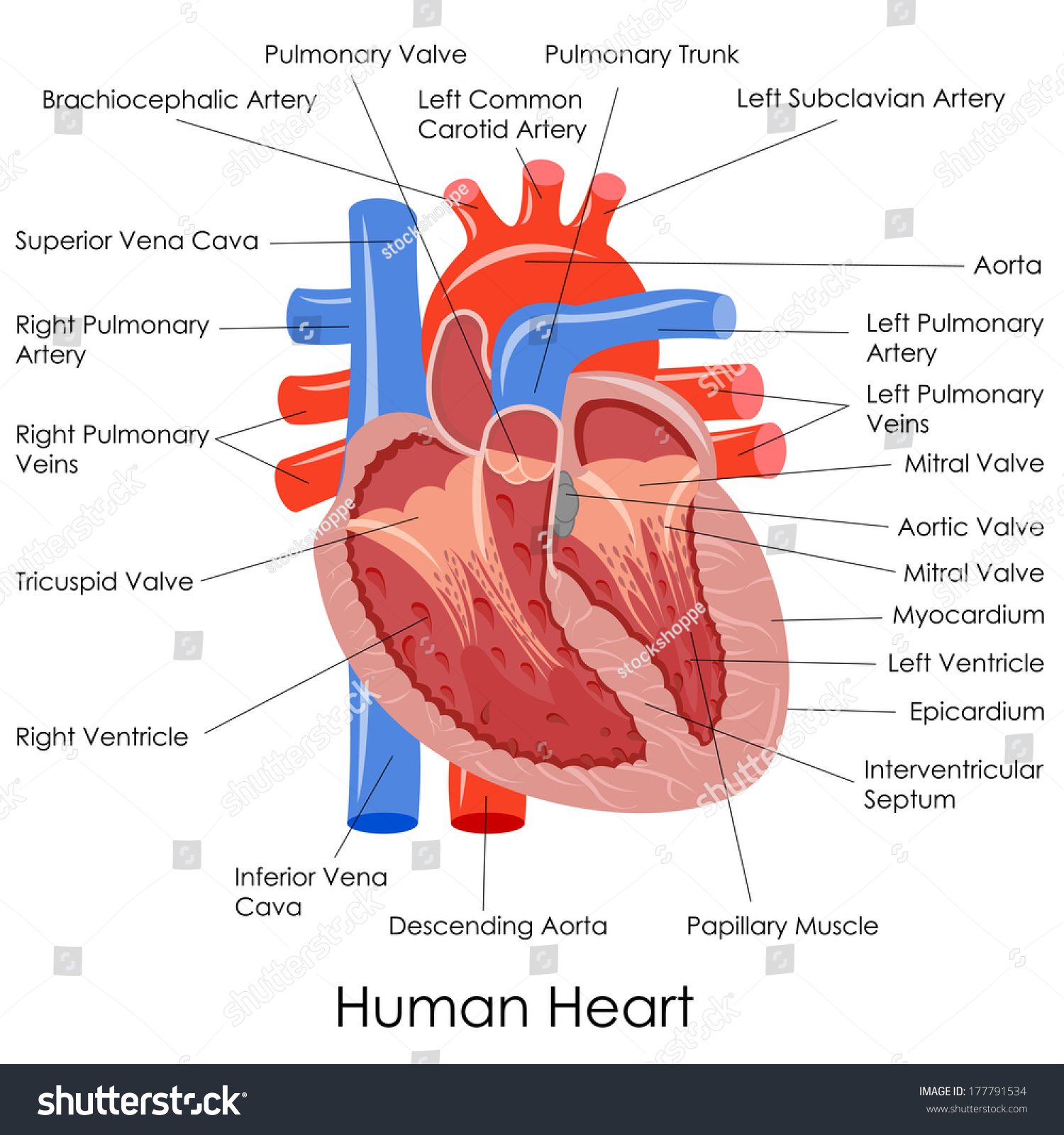 Vector Illustration Diagram Human Heart Anatomy Stock Vector