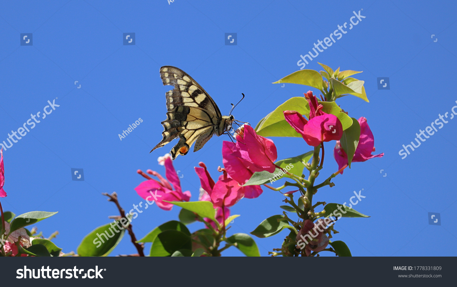 stock-photo-scarce-swallowtail-butterfly