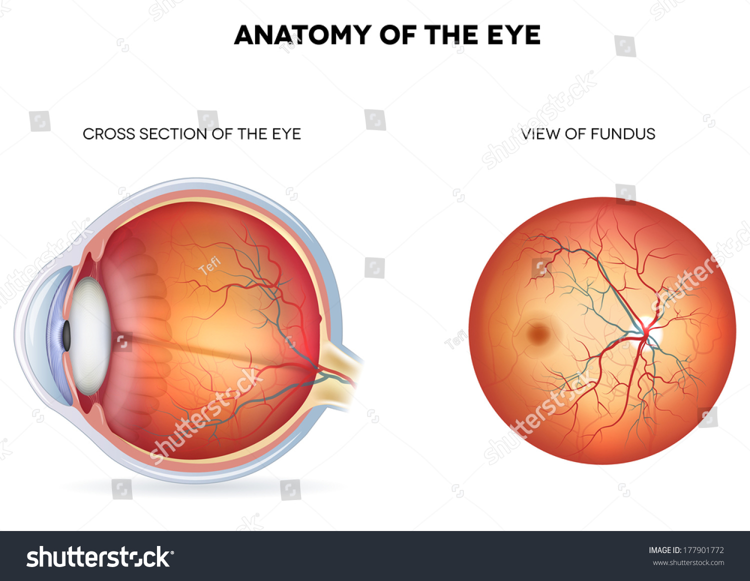 Anatomy Eye Cross Section View Fundus Stock Vector