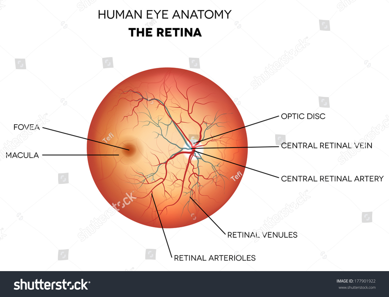 Human Eye Anatomy Retina Optic Disc Stock Illustration