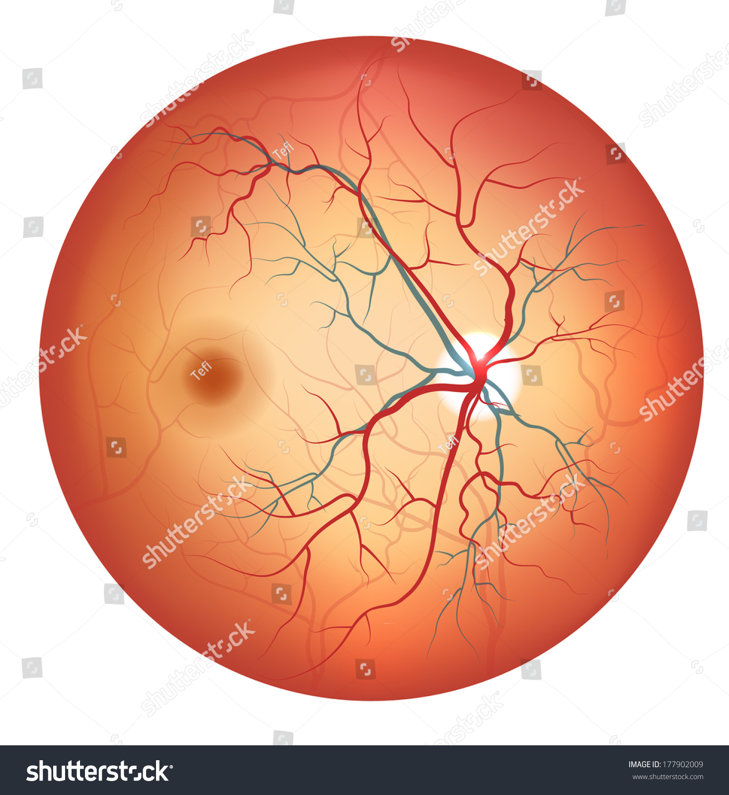 Human Eye Anatomy Retina Optic Disc Stock Photo Photo Vector