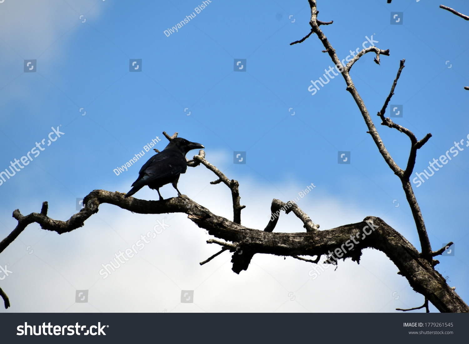 Beautiful picture of crow and tree branches #1779261545