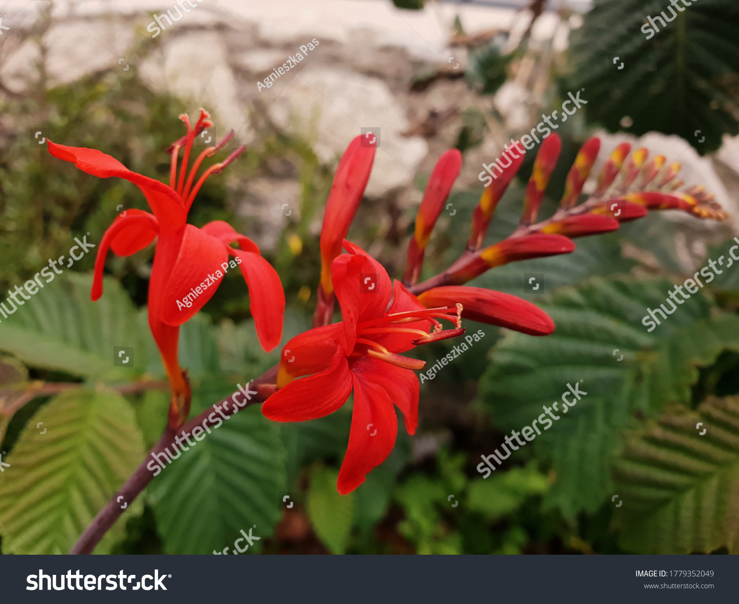 stock-photo-close-up-view-of-crocosmia-l