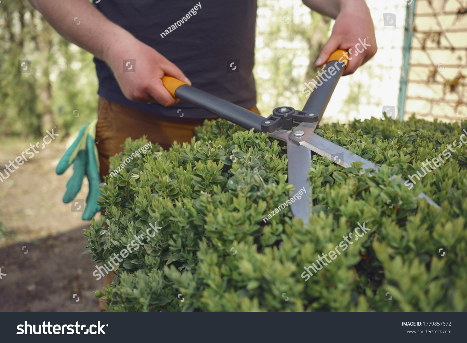 Man with bare hands is trimming a green shrub using hedge shears on his backyard. Gloves are in his pocket. Professional pruning tool. Close up #1779857672
