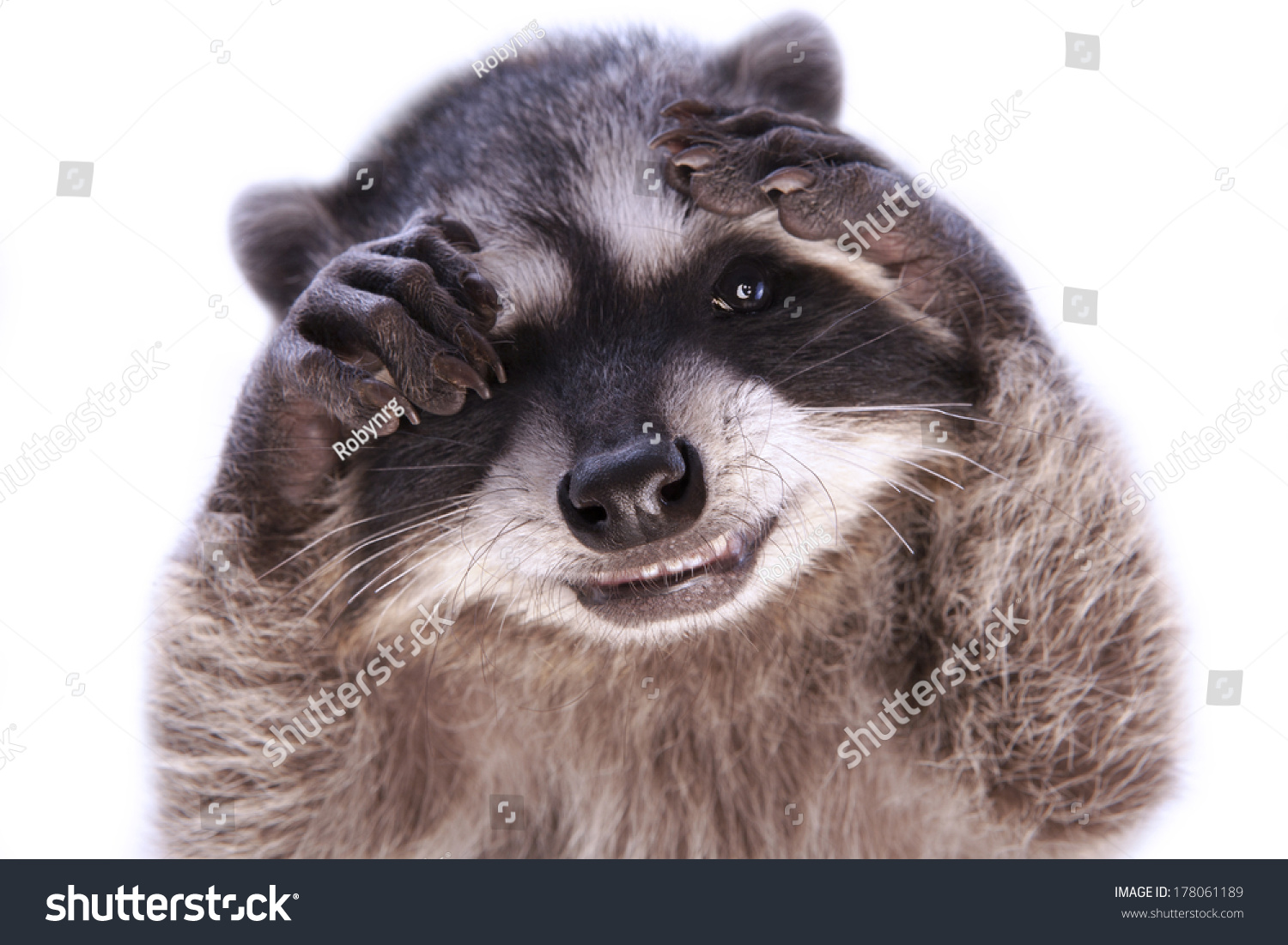 baby raccoon grinning hiding face paws stock photo 178061189