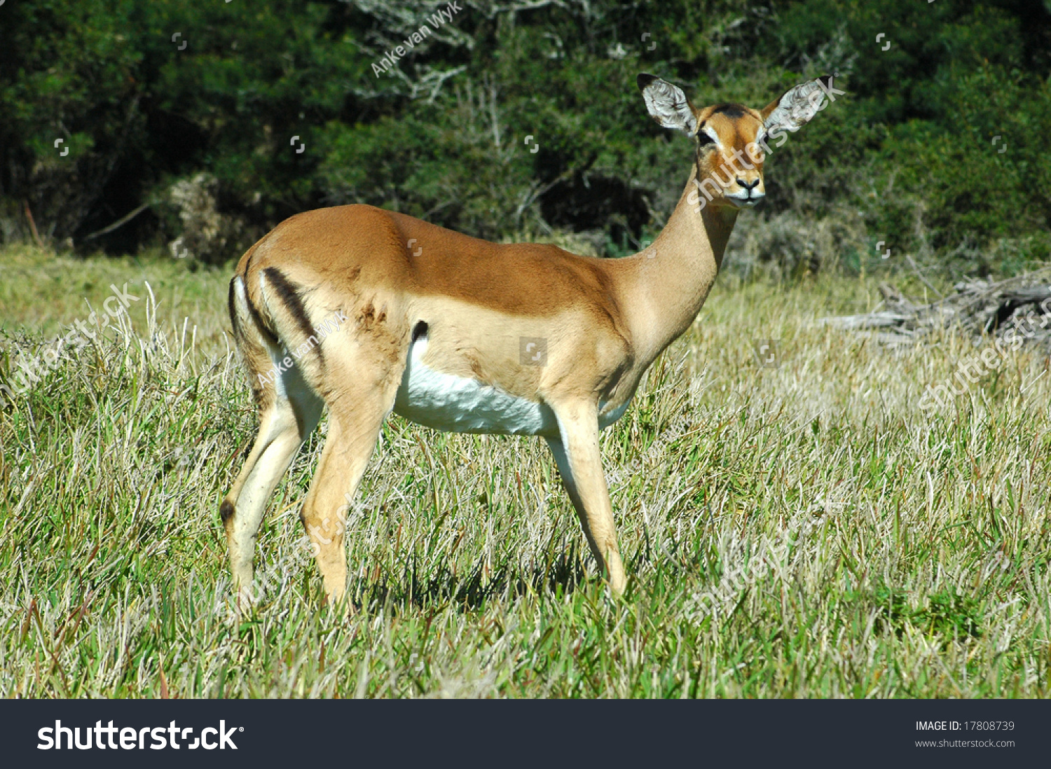wild african impala antelope standing and gazing stock. Black Bedroom Furniture Sets. Home Design Ideas
