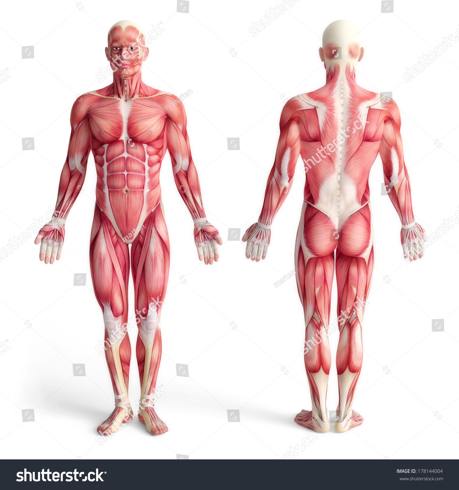 Male Anatomy Muscular System Front Back Stockillustration 178144004