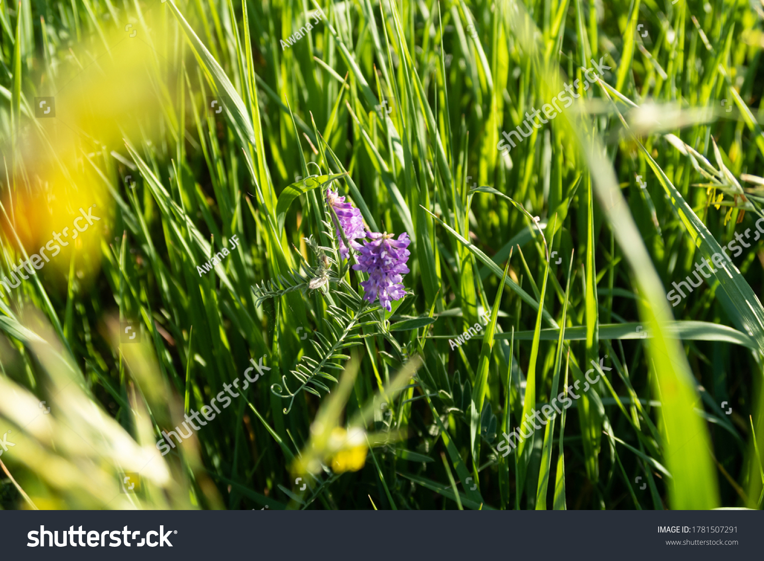 stock-photo-view-of-a-wild-purple-flower