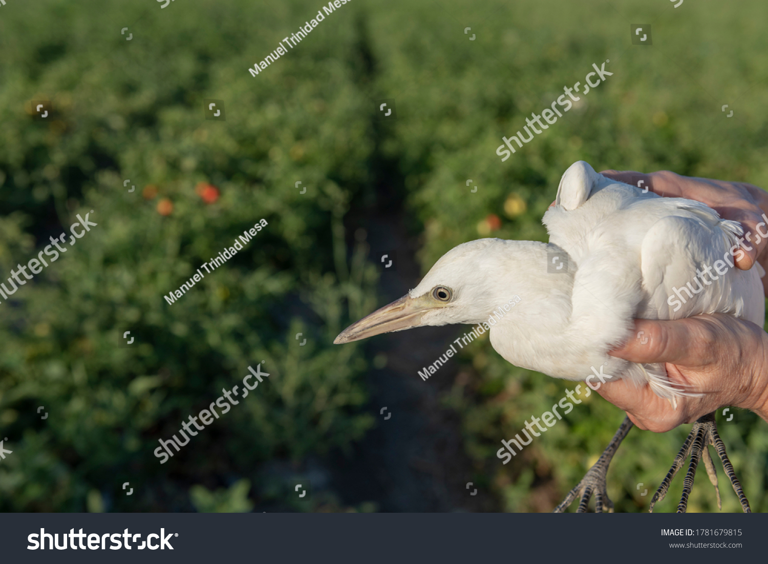 A person holds in his hands a chick of a cattle egret