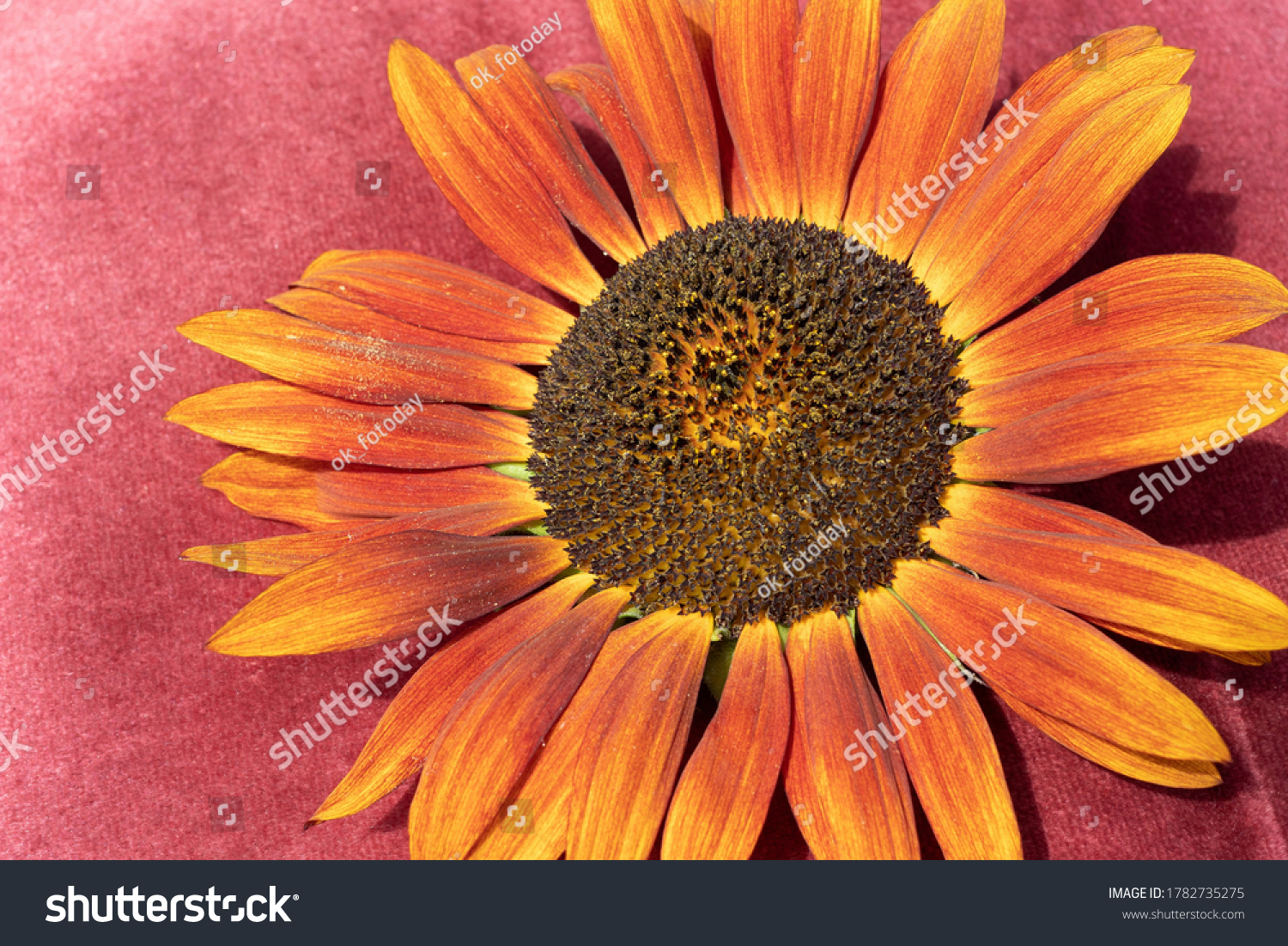 Decorative sunflower of dark orange color on a velvet background
