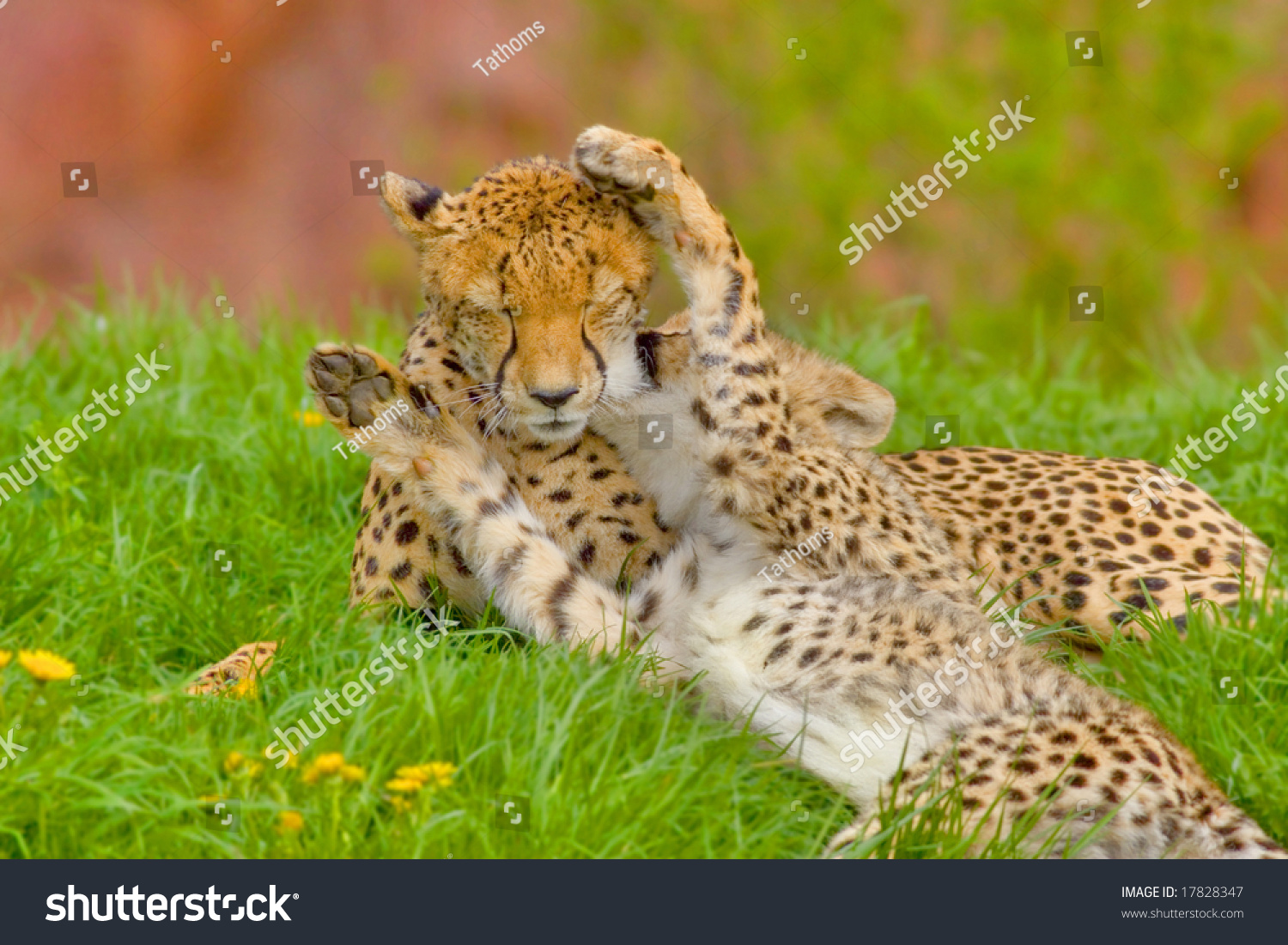 stock-photo-i-love-my-mommy-cheetah-cub-