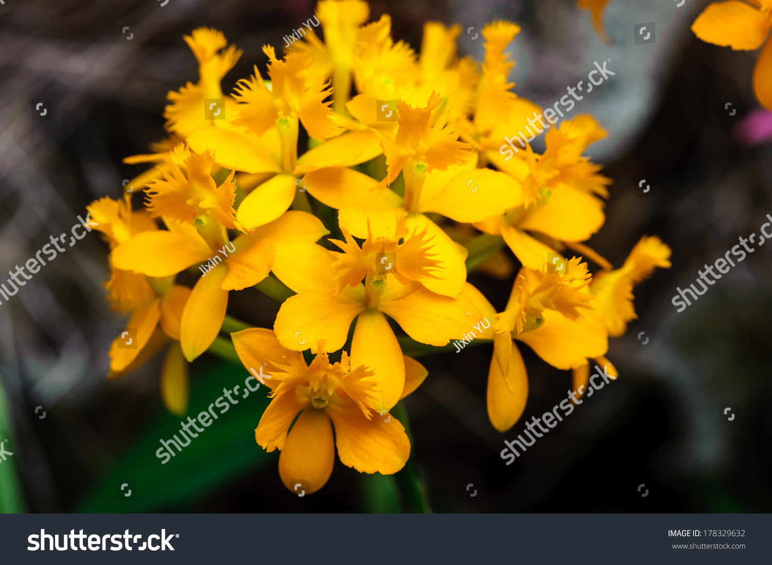 Winter Flowers Yellow Cyclamen Flowers Greenhouse Stock Photo