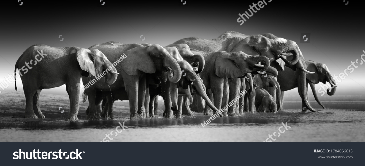 Fine art, black and white photo of group african elephants against dark background, standing on the bank of river Chobe, drinking water.   Botswana safari. #1784056613