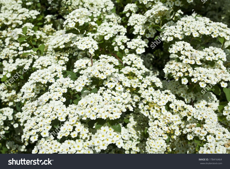 Bush White Flowers Spring Stock Photo Edit Now 178416464