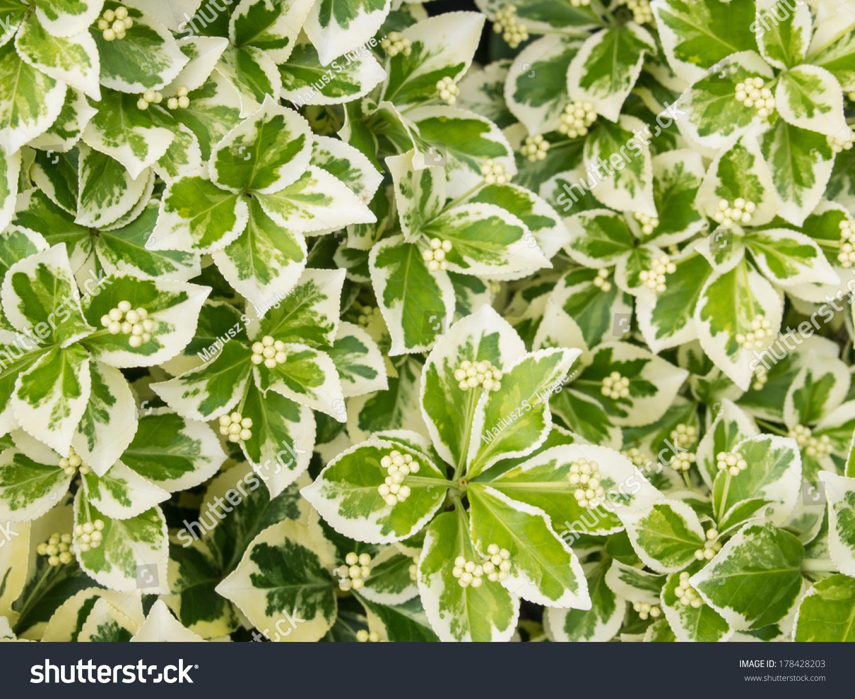 Image Gallery Euonymus Plant