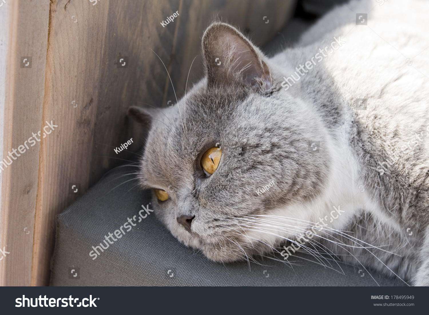 Fantastic Lazy Male Cat Lying On Garden Stock Photo Edit Now Inzonedesignstudio Interior Chair Design Inzonedesignstudiocom