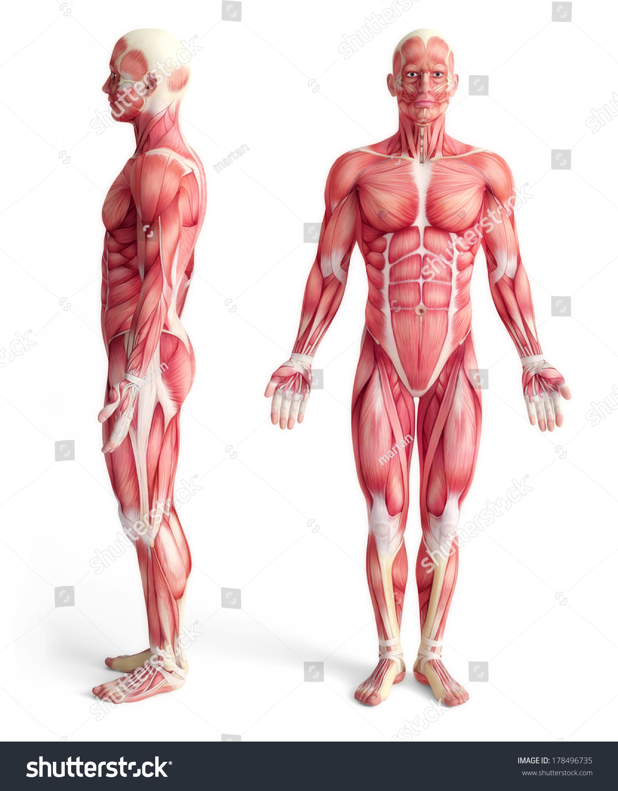 Male Anatomy Muscular System Front Side Stock Illustration 178496735 ...