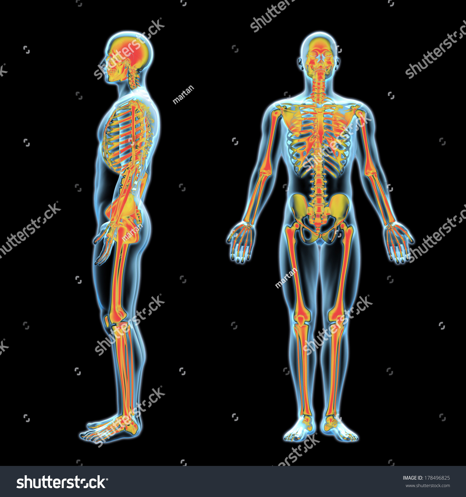 3d xray human anatomy model skeleton stock illustration 178496825, Skeleton