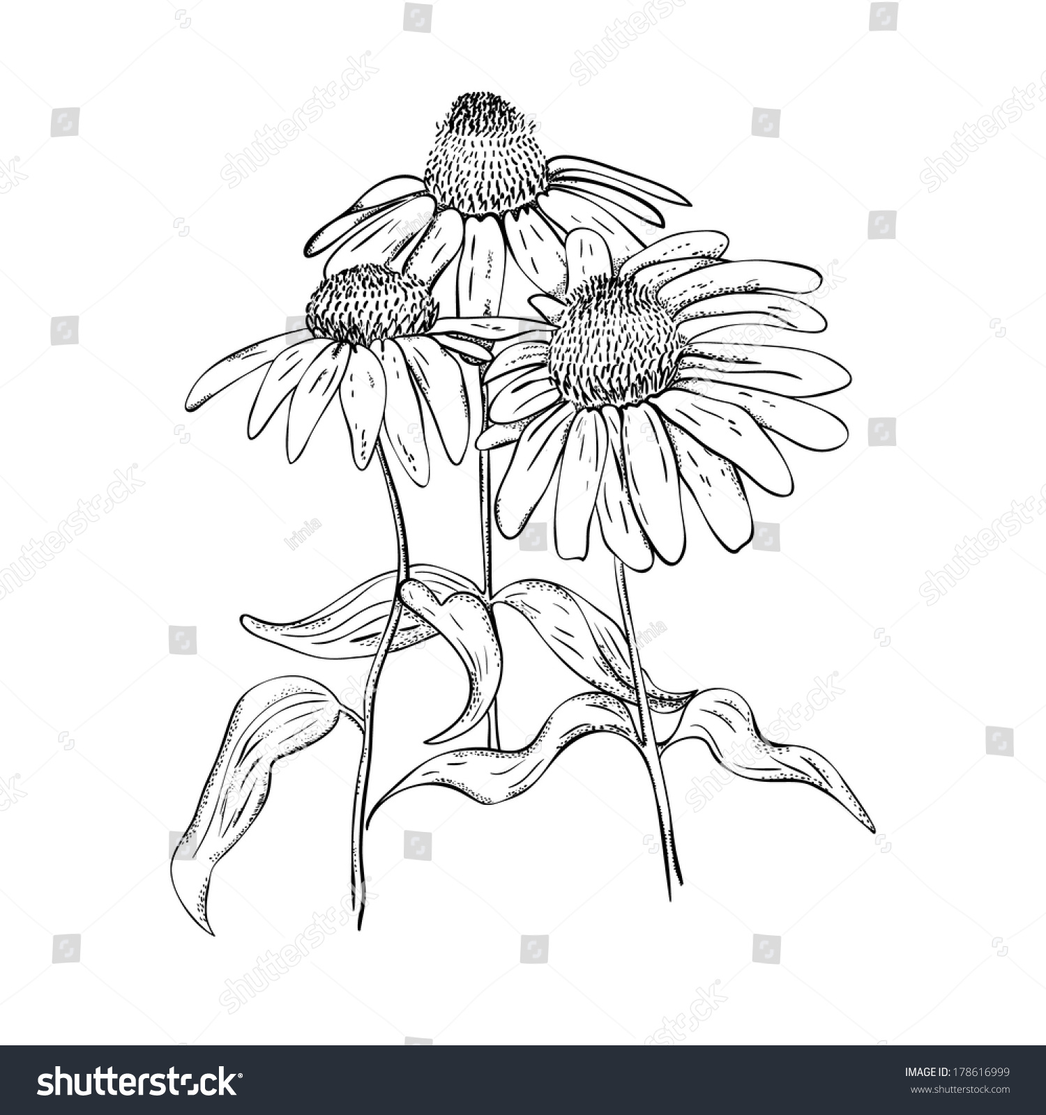 Line Drawing Coneflower : Monochrome drawing herb echinaceastyle line art stock
