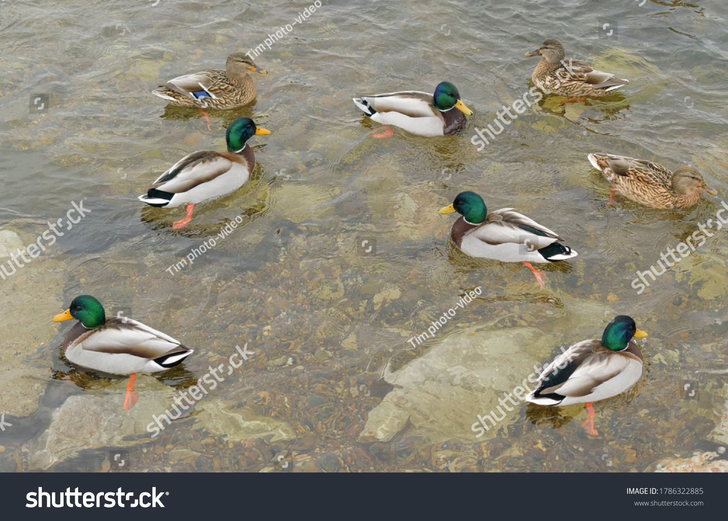 stock-photo-ducks-swim-on-the-pond-drake