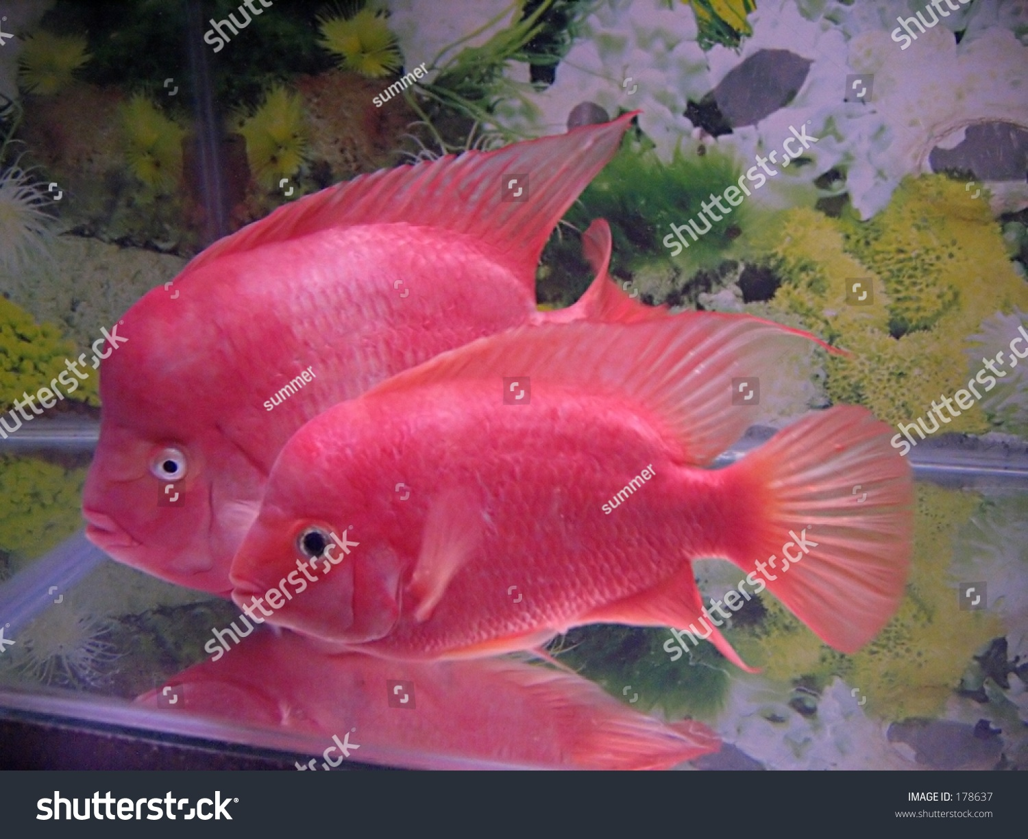 Red Flower Horn Fish Couple Stock Photo (Royalty Free) 178637 ...