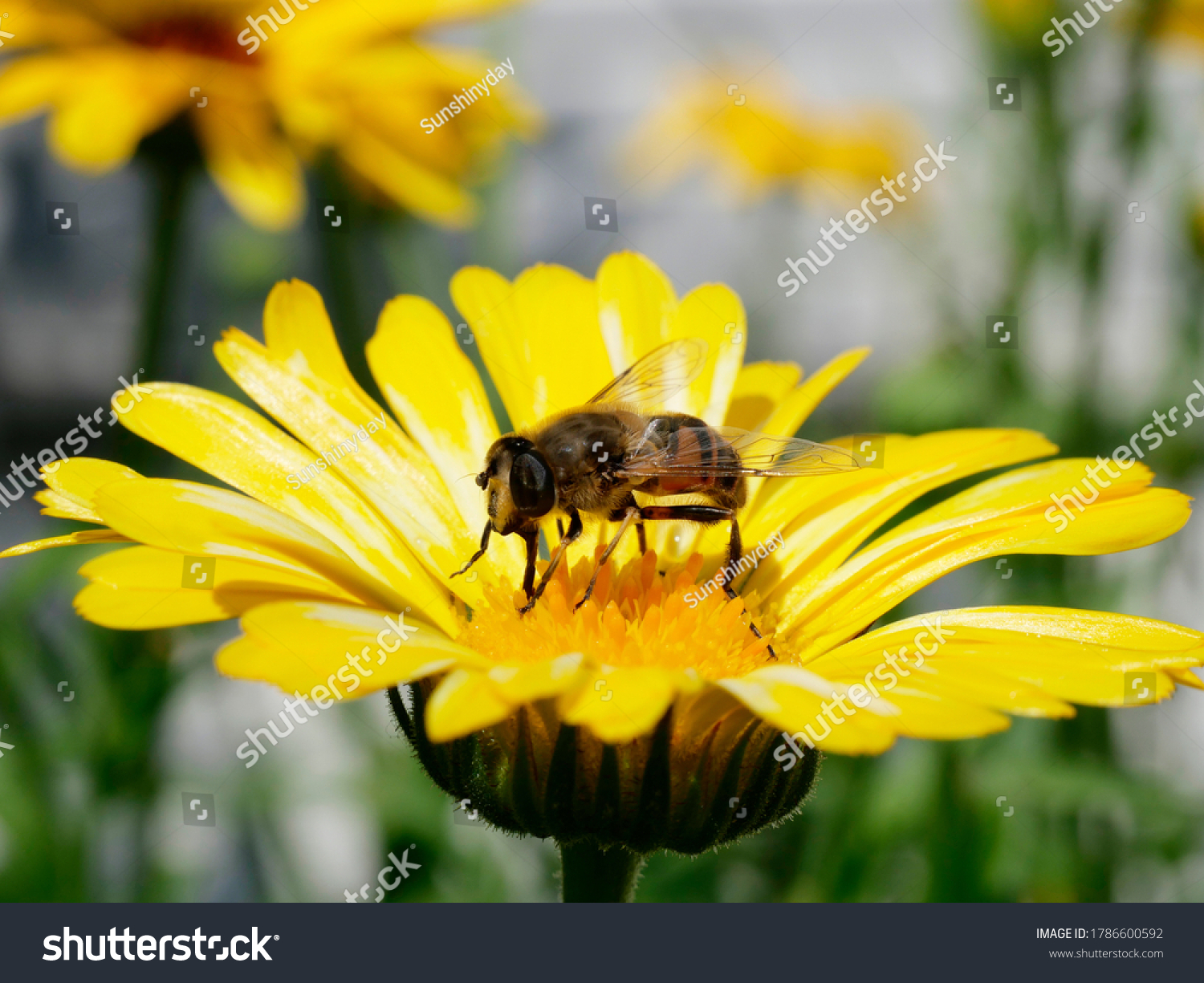 stock-photo-honey-bee-close-up-on-a-mari