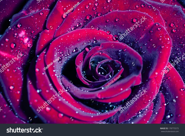خلفيات ملونه فلاشيه Stock-photo-rose-with-water-drops-macro-shot-with-shallow-depth-of-field-color-toned-image-178775573