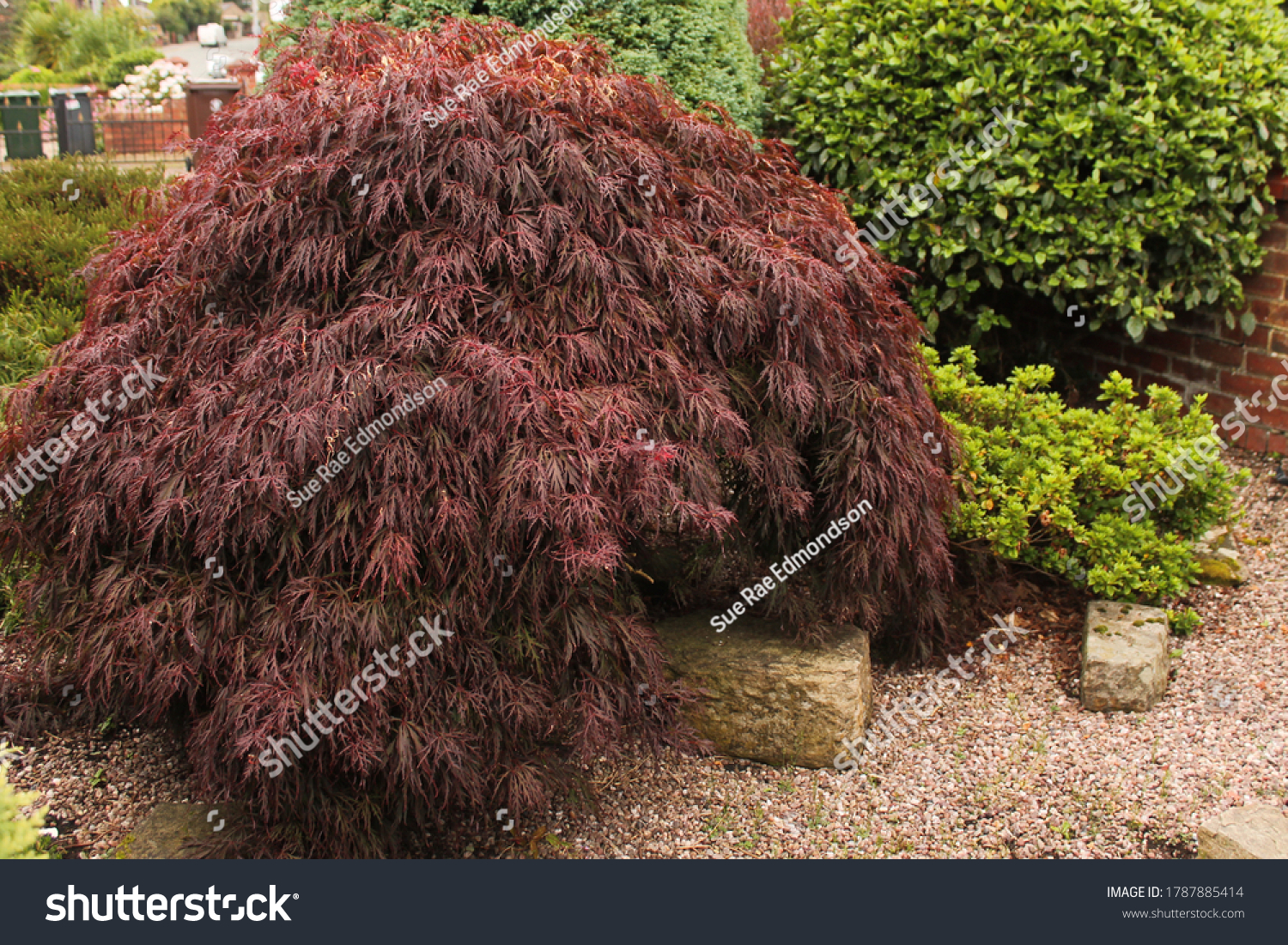 lace leaf Japanese maple, low growing shrub in a rock garden
