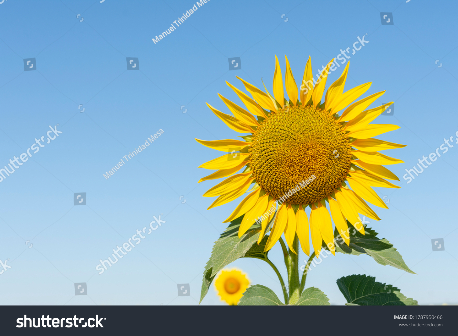 Sunflower plant for the production of vegetable oil