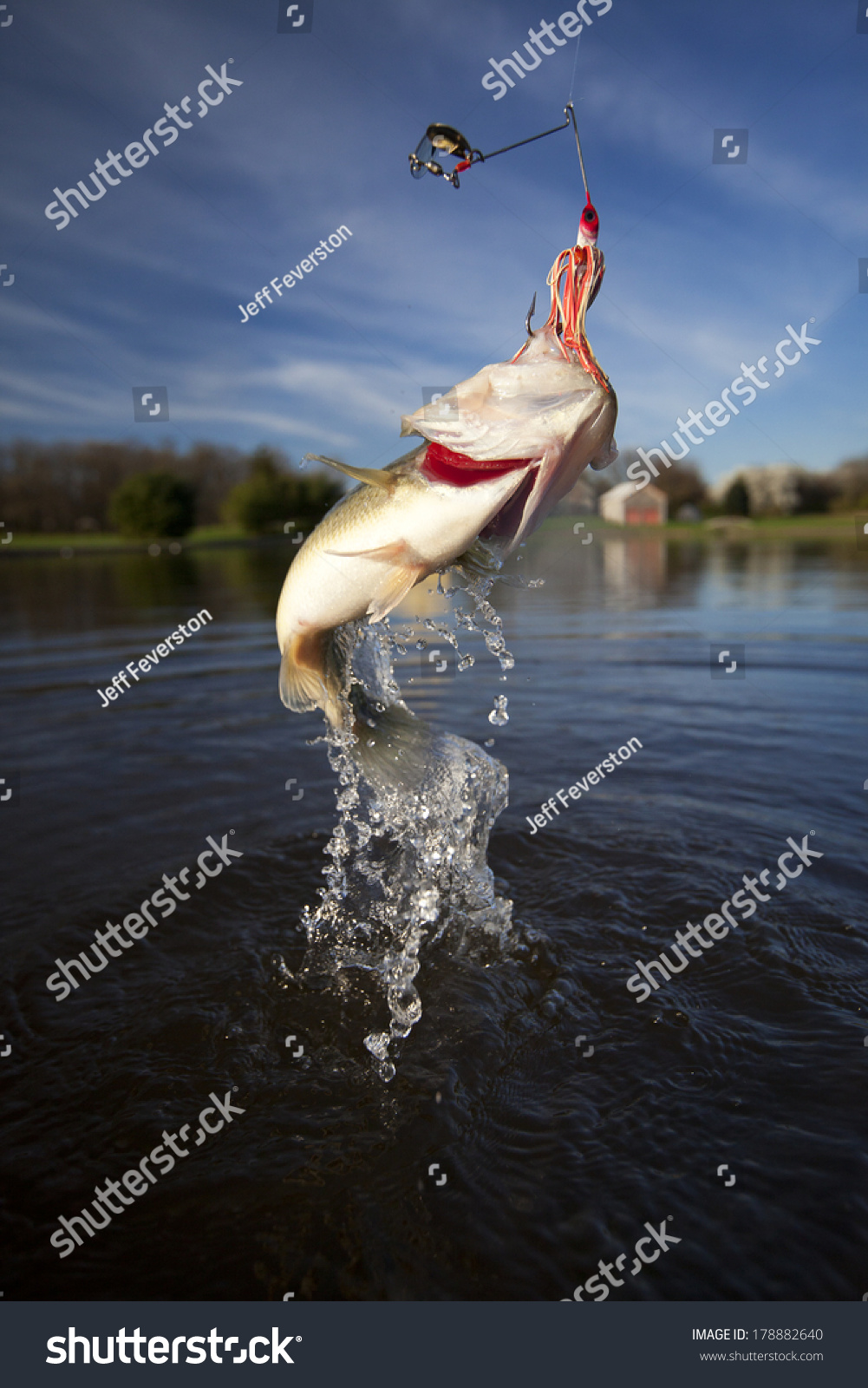 Large Mouth Bass Jumping Thrashing Out Stock Photo ...